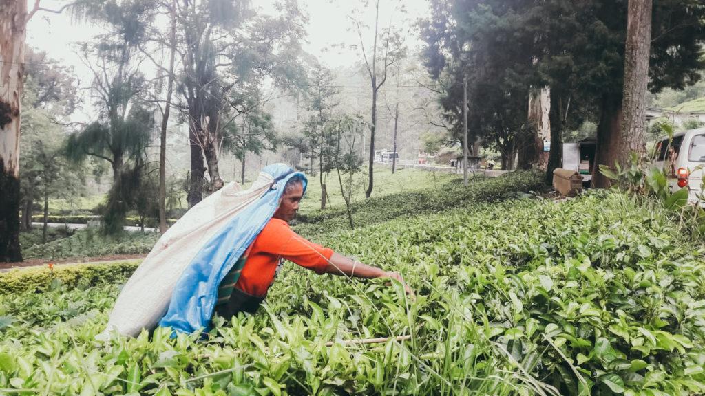 Teeplantagen Sri Lanka