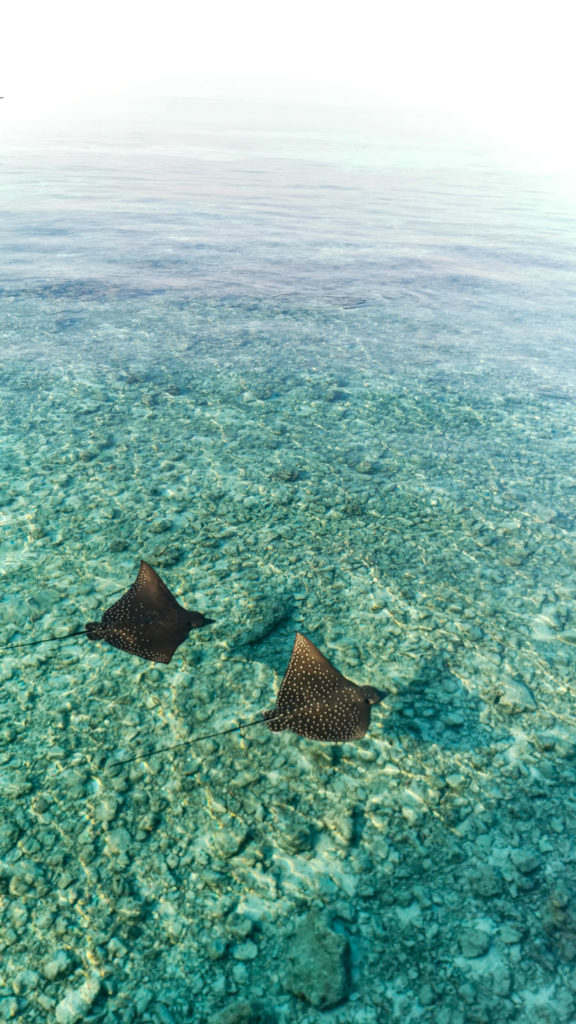 Stingray Maldives